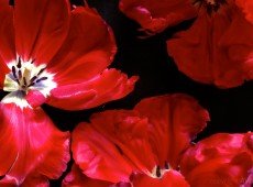 Große Tulpen