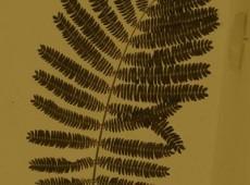 Mimose solitär ocker vertikal