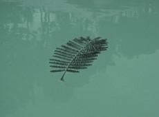 Mimose solitär zinkgrün mit Reflexionen