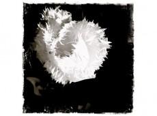 Tulpen, weiß gefranst