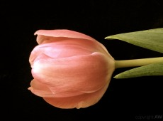 Tulpenschön